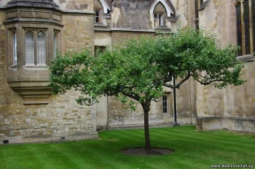 Знаменитая яблоня в Кембридже