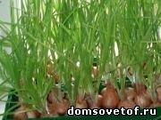 Как вырастить лук и зелень на подоконнике