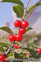 войлочная вишня,размножение семенами