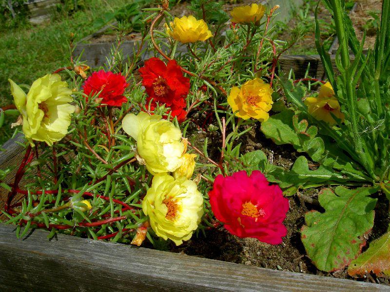Полезный совет : Цветок портулак. Посадка и уход в домашних условиях