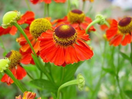 Полезный совет : Цветы гелениум. Посадка и уход