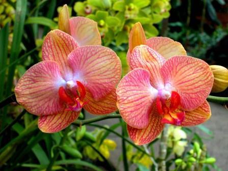 Полезный совет : Правильный уход за домашними цветами фаленопсис