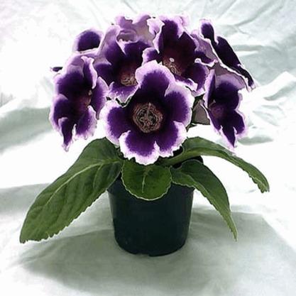 Полезный совет : Комнатные цветы глоксиния. Посадка и уход в домашних условиях