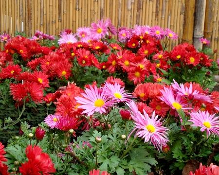 Полезный совет : Цветы хризантемы. Правильный уход и выращивание
