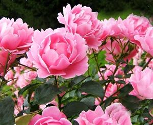 Полезный совет : Цветы пионы. Выращивание, посадка и уход