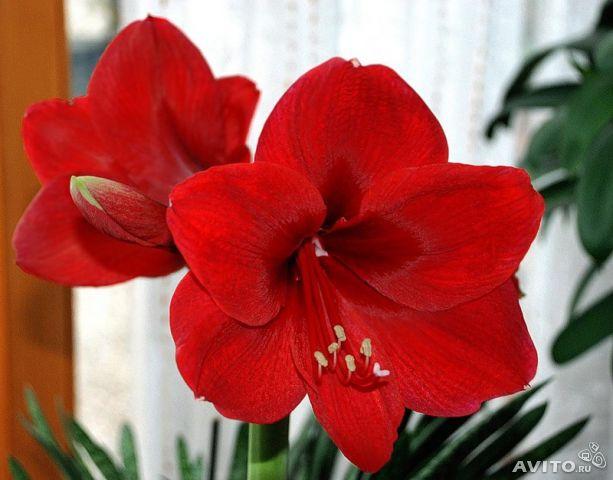 Полезный совет : Цветок гиппеаструм. Правильный уход в домашних условиях