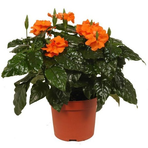 Полезный совет : Цветы кроссандра. Правильный уход и размножение