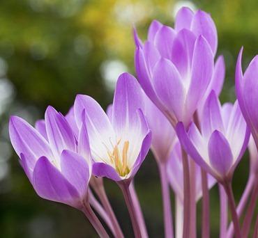 Полезный совет : Цветок безвременник. Посадка и уход