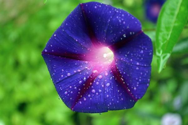 Полезный совет : Цветы ипомея. Посадка и уход