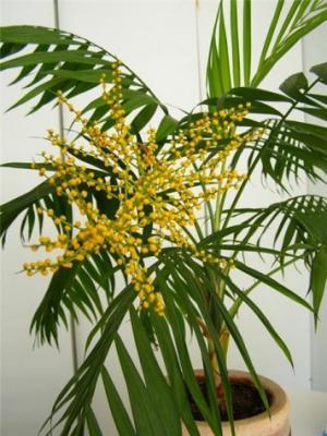 Полезный совет : Цветок хамедорея. Выращивание и уход