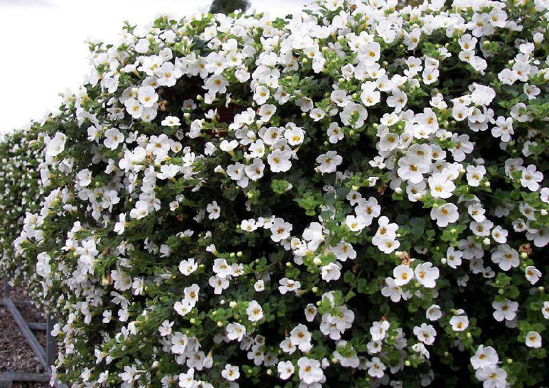 Полезный совет : Цветок бакопа. Выращивание и уход в домашних условиях