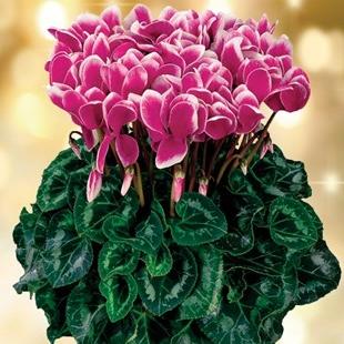 Полезный совет : Правильный уход за цветком цикломения