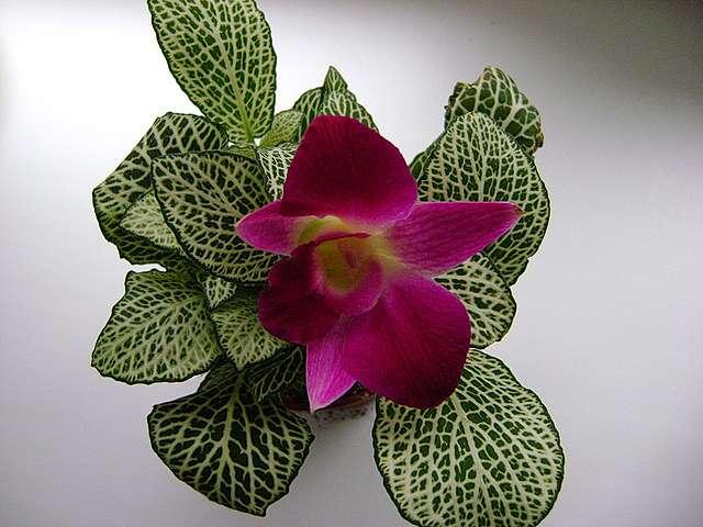 Полезный совет : Цветок фиттония. Посадка и уход в домашних условиях
