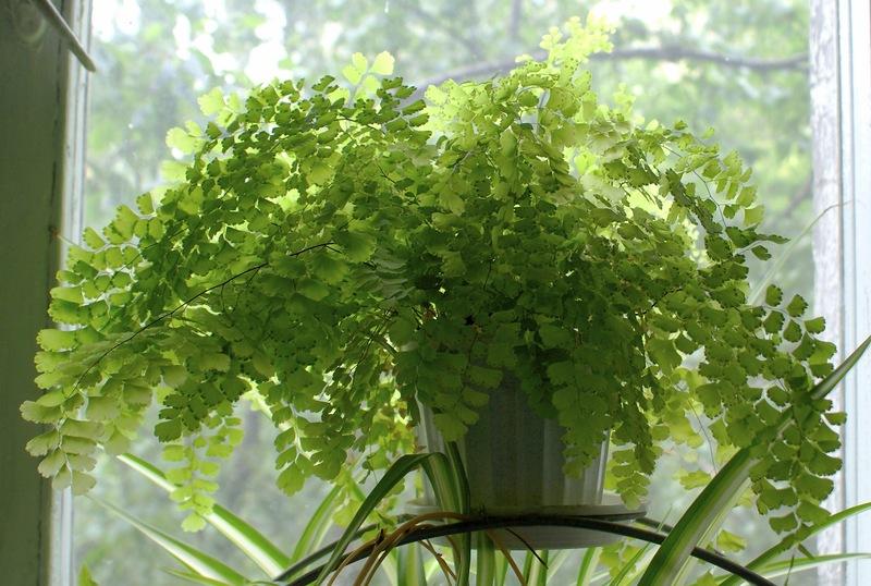 Полезный совет : Цветок Адиантум или венерин волос. Правильный уход