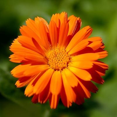 Полезный совет : Выращивание и уход за цветком календула