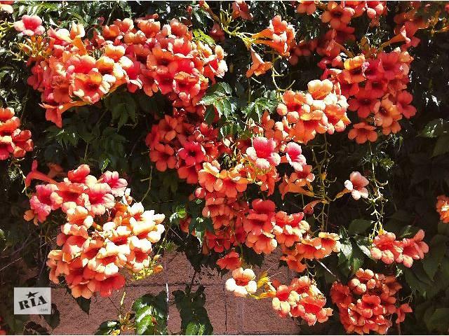 Полезный совет : Цветок кампсис. Размножение, выращивание и уход