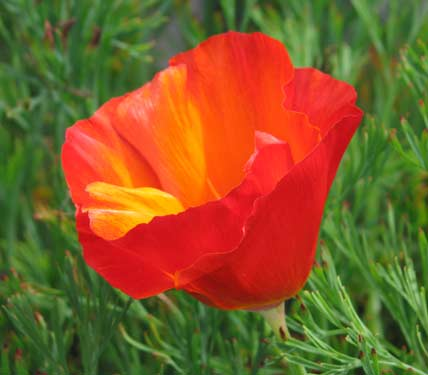 Полезный совет : Цветок эшшольция. Уход и размножение
