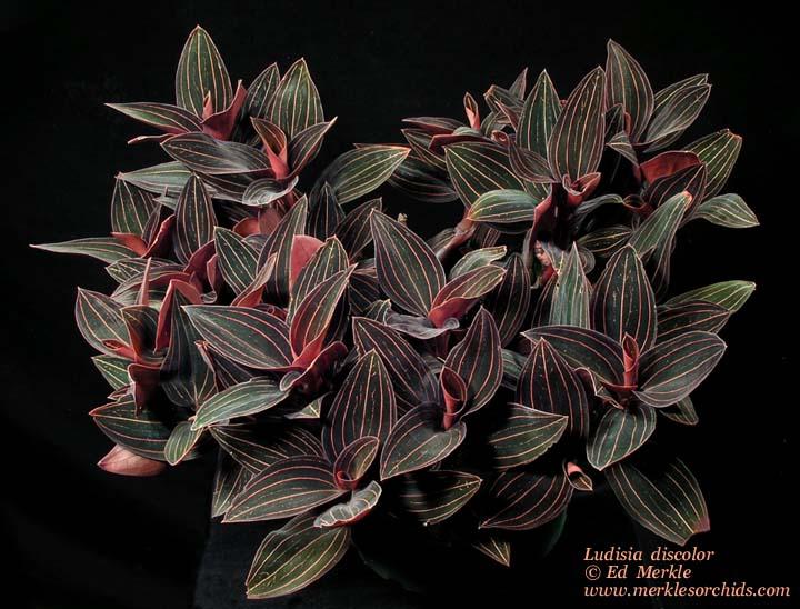 Полезный совет : Цветок лудизия. Выращивание и уход в домашних условиях