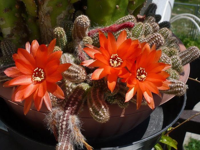 Полезный совет : Цветок кактуса. Уход в домашних условиях
