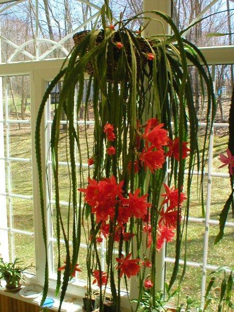 Полезный совет : Лесной кактус уход и выращивание