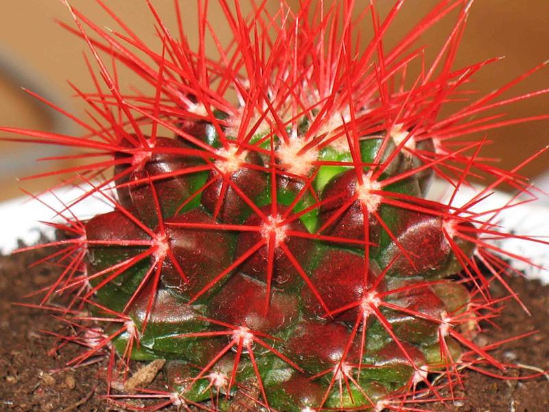 Полезный совет : Красный кактус уход и выращивание в домашних условиях