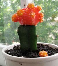 Полезный совет : Уход в домашних условиях за кактусом гимнокалициум