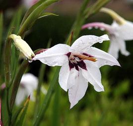 Полезный совет : Цветок ацидантера. Посадка и уход в домашних условиях