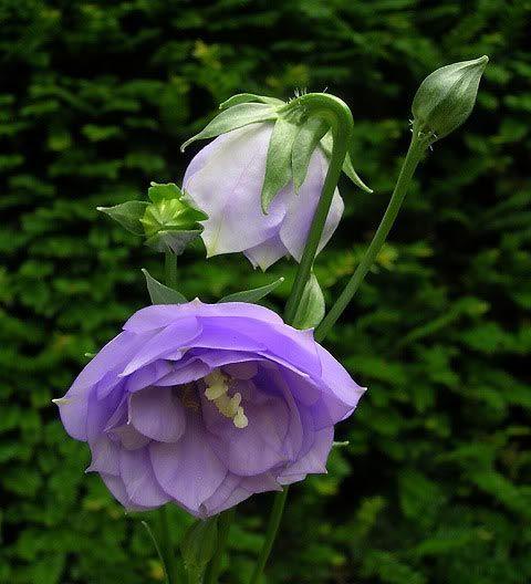 Полезный совет : Цветы кокольчик персиколистный. Выращивание, посадка и уход