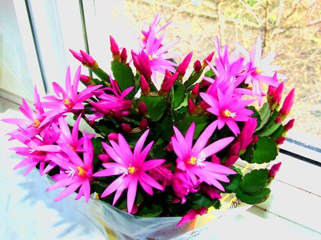 Полезный совет : Цветок рипсалидопсис или пасхальный кактус правильный уход