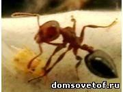 муравей, способ борьбы с муравьями