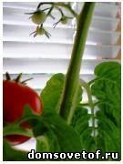 как вырастить помидоры на подоконнике, выращивание помидор на балконе