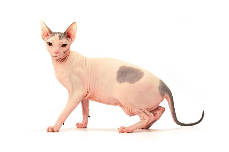 кошка донской сфинкс