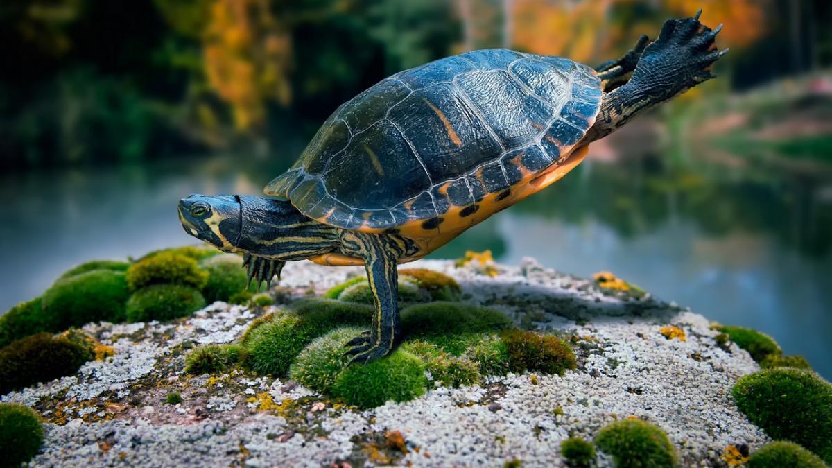 домашние питомцы черепаха