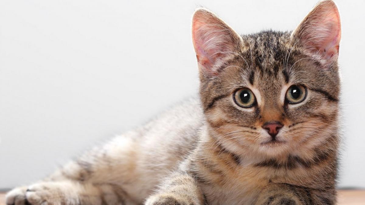кошка домашний питомец