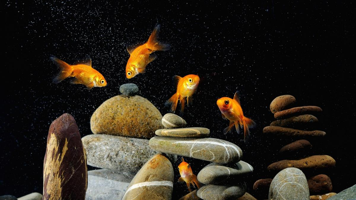 рыбки домашние