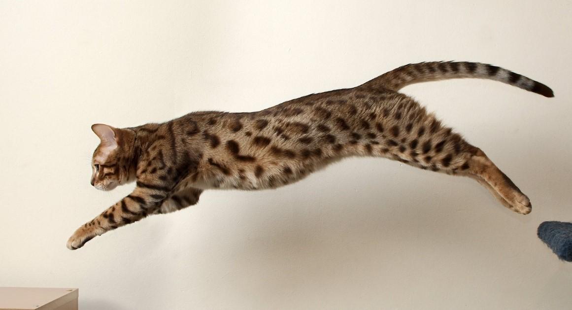 абиссинские кошки дрессировка
