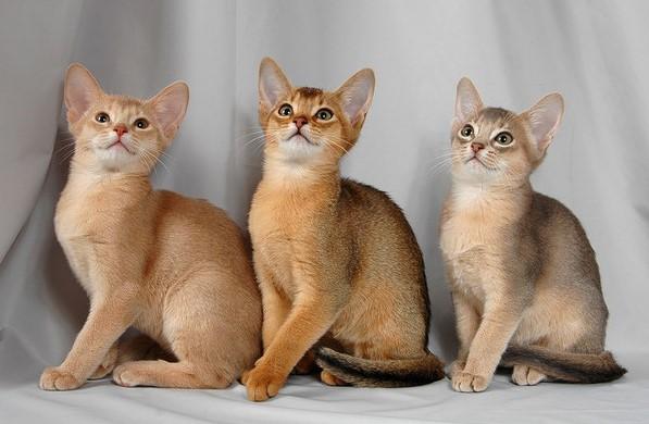 абиссинская кошка цена в питомниках
