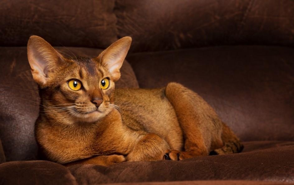 абиссинские кошки характер