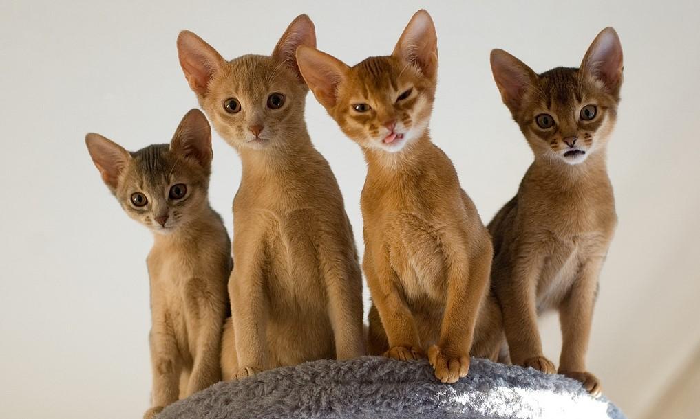 абиссинские кошки окрас