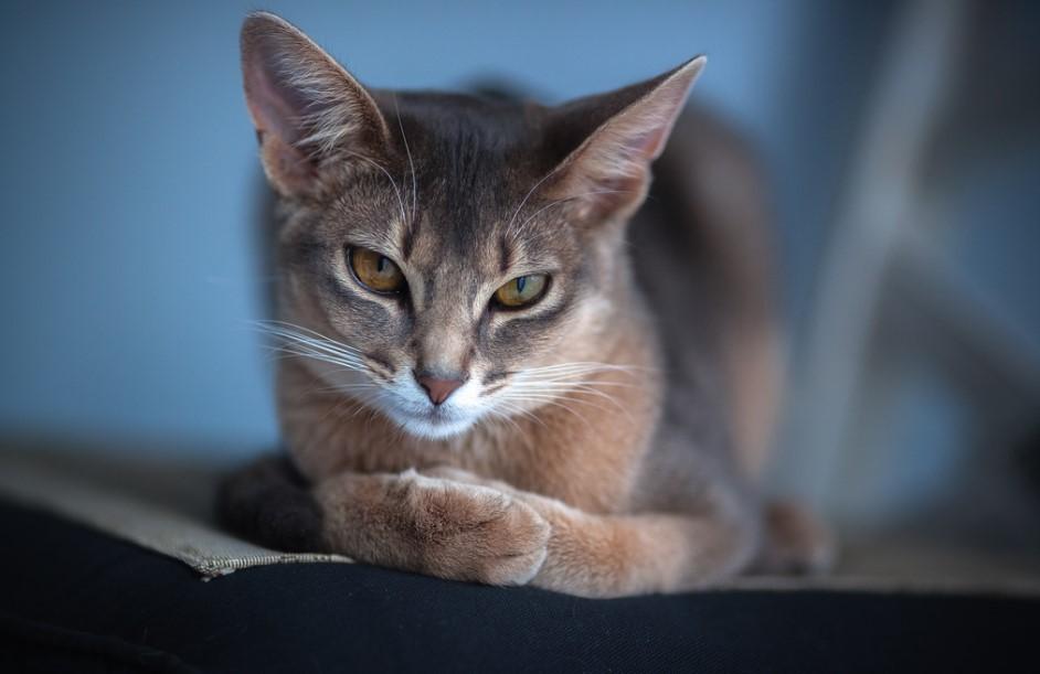 абиссинская кошка уход и болезни