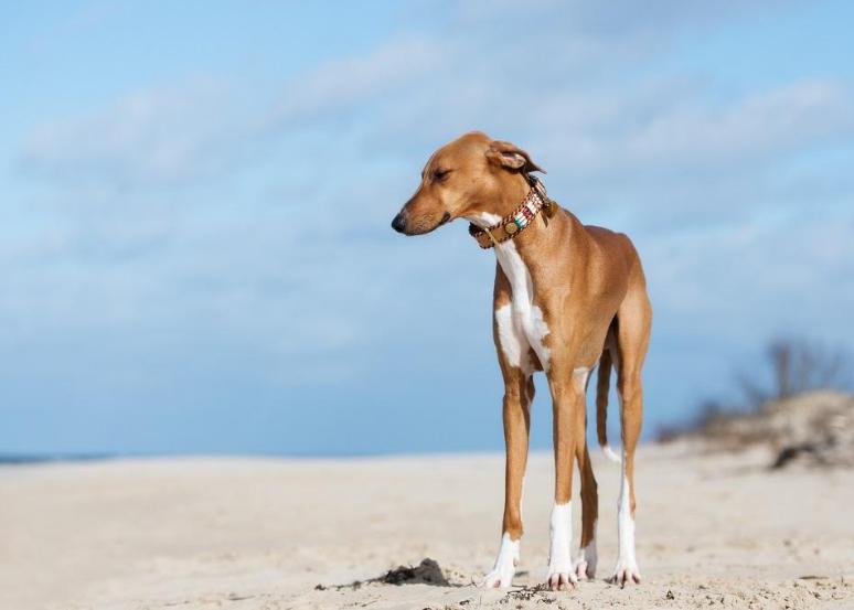 азавак фото собаки