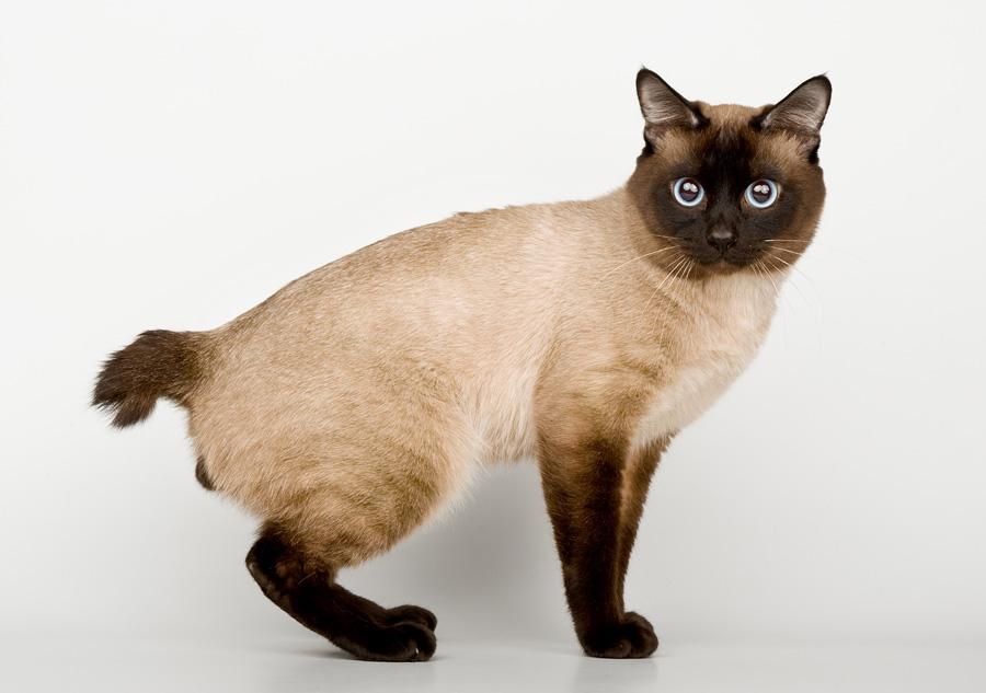 меконгский бобтейл (тайская кошка)