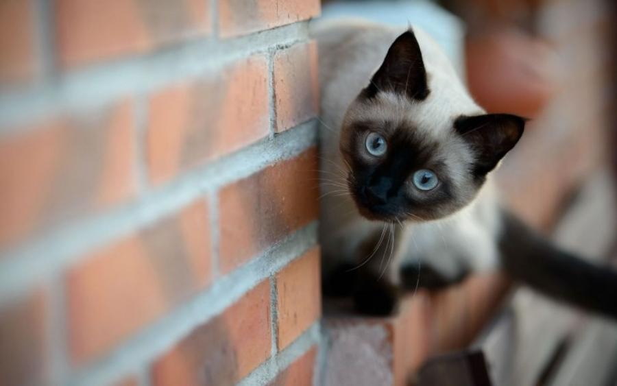 сиамская кошка где купить