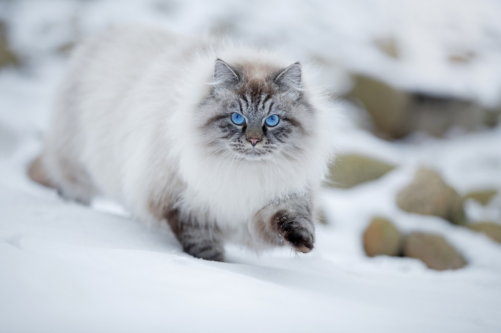 невская маскарадная кошка москва