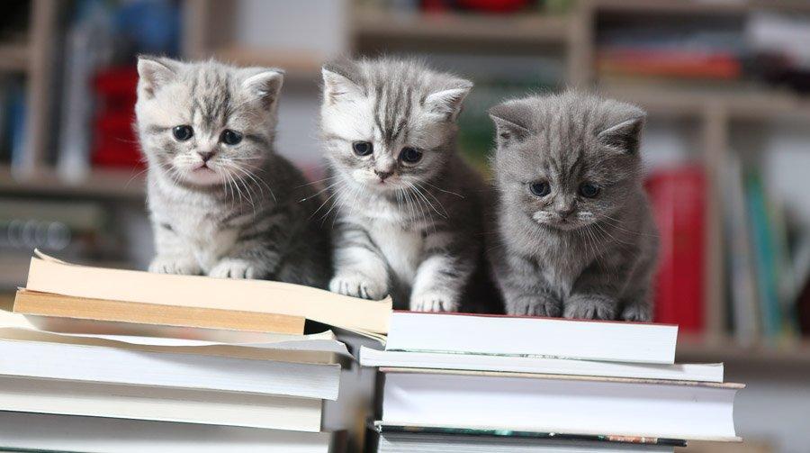 британские короткошерстные котики