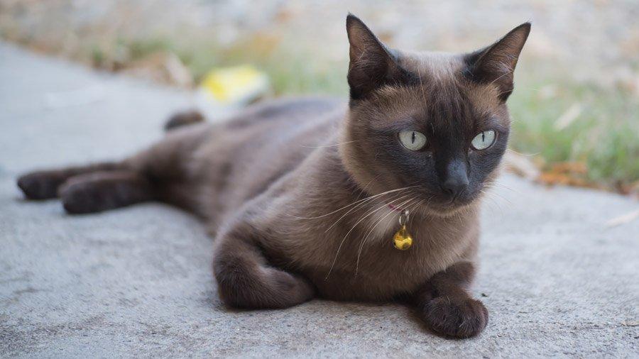 бирманская кошка бирма
