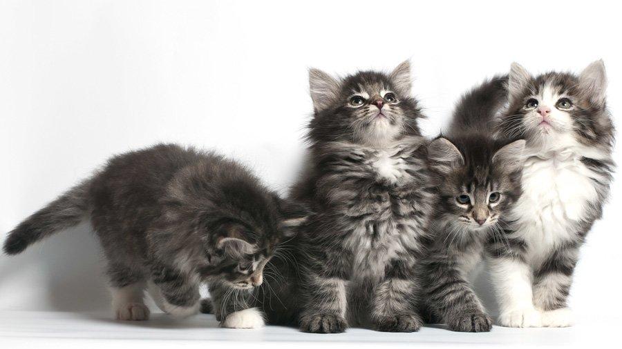 норвежская лесная кот и кошка