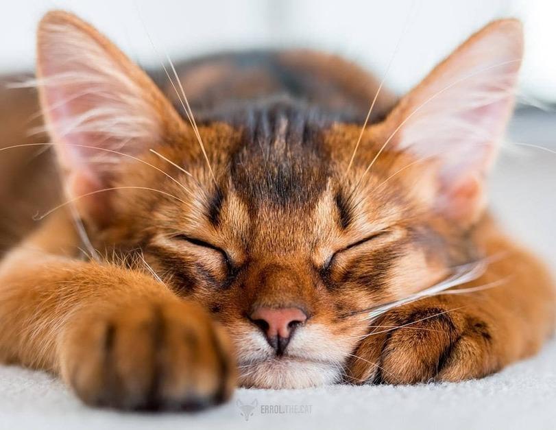 сомалийская кошка москва спб