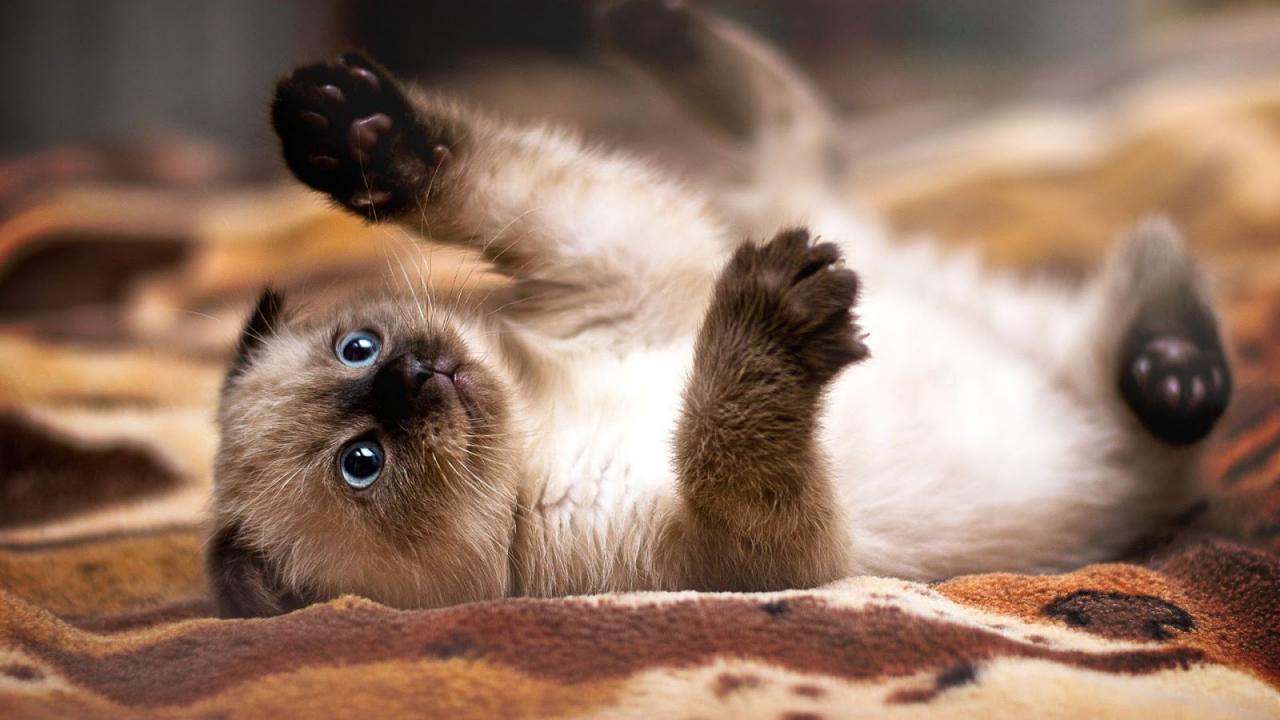 сиамская кошка котята