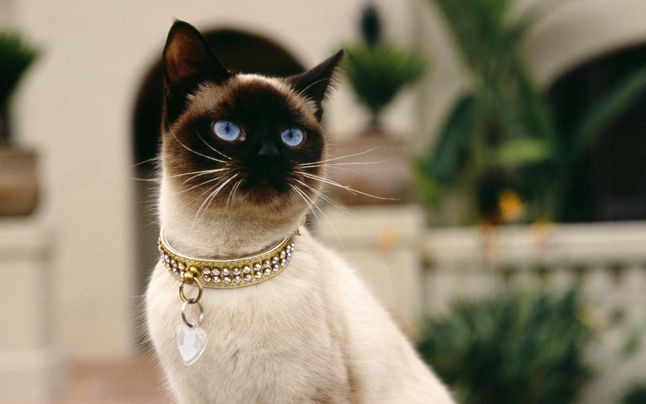 сиамская кошка цена